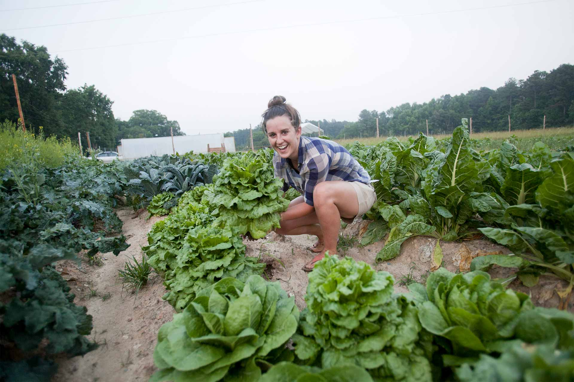 A student worker plucks a head of lettuce from the field at the Duke Campus Farm